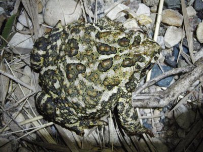 Canadian Toad (Anaxyrus hemiophrys)
