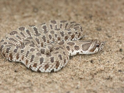 Plains Hog-nosed Snake (Heterodon nasicus)